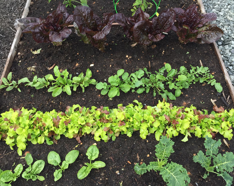 Leafy Greens Growing in My Garden